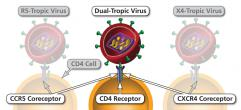 Ways in which an HIV virion can attach to a CD4 cell